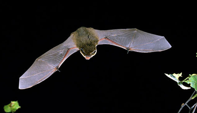 Bats in your roof